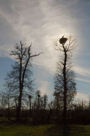 Silhouette of a stork in the nest, on top of an oak and sun backlight. In the wake of a passing plane in the sky 스톡 콘텐츠