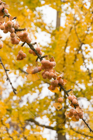 Maidenhair Tree (Ginkgo Biloba tree) branch full of ripe fruit in autumn