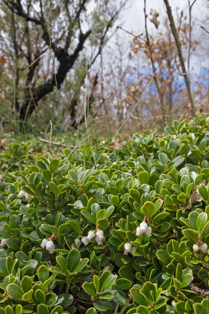 Creeping plant Bearberry Arctostaphylos uva ursi covering a side of an oak forest