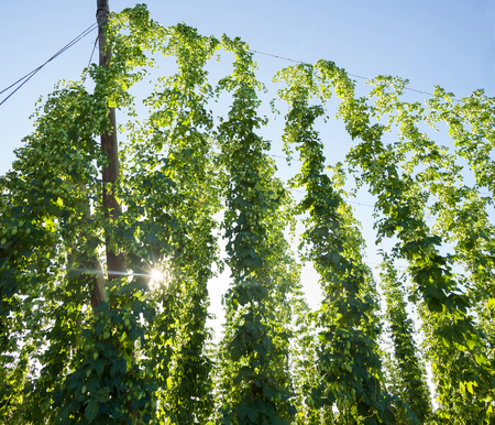Hop planting with flowers or buds at a time close to harvesting and the sun entering between the branches