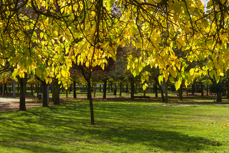 Branches with yellow autumn leaves of Black Mulberry (Morus nigra) in Urban Park