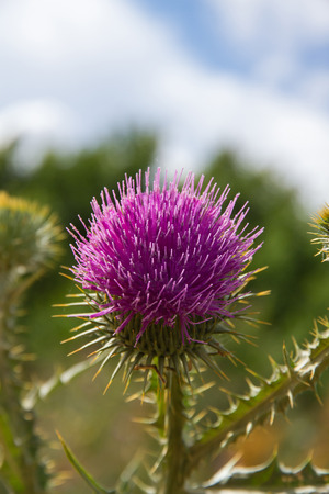 Cotton Thistle in Bloom