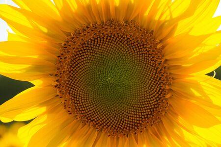 Détail de tournesol avec son dos au soleil au coucher du soleil montrant l'inflorescence centrale Banque d'images
