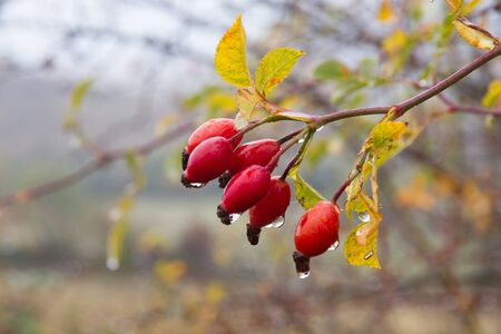 Hips Berry red fruit of wild rose (canine rose) in autumn with raindrops