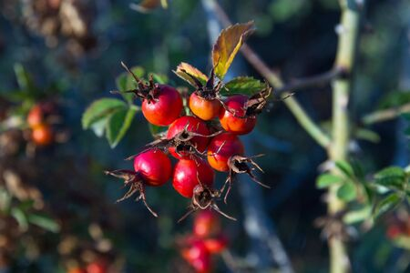Hips. Berry red fruit of wild rose (Rosa canina) in autumn