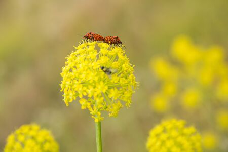 Two Graphosoma lineatum insects mating on yellow flowers of umbelifera plant