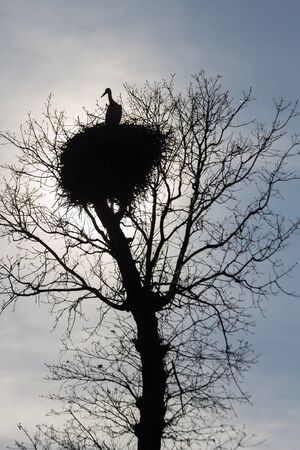 Silhouette of a stork in the nest, on top of an oak and sun backlight