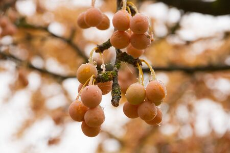 Maidenhair Tree (Ginkgo Biloba tree) tree branches with hanging fruits and dew drops