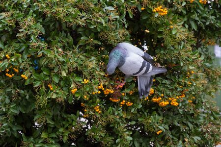 Dove Pyracantha bush eating berries or orange fruits
