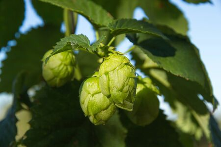Flowers in the hop plant in the near time to your collection Imagens