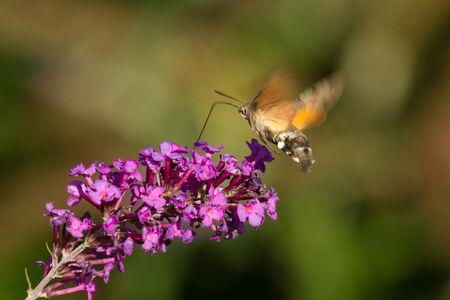 Butterfly Macroglossum stellatarum (Macroglossum stellatarum) flying and sucking, with its long tongue, nectar of a flower, of the bush Buddleja davidii of purple color
