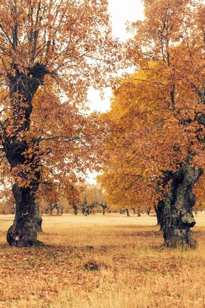 Autumn oaks near the winter Isolated over white cloudy sky Imagens