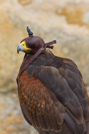 Hooded Harris Hawk (Parabuteo Unicintus)