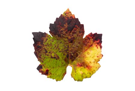 Vine leaf with colorful autumnal isolated on white background