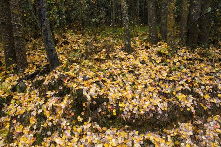 Mantle of yellow autumn leaves, fallen on the wet ground of a rainy day, between trees