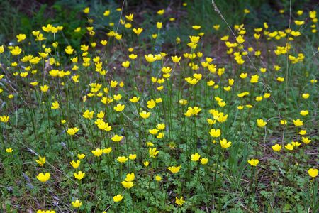 Detail of small yellow wildflowers in the field of the genus Ranunculus