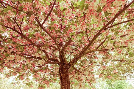 Cherry or Japanese Plum flowered with its pink and white flowers. Photography with color treatment in retro tone