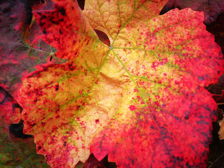 Vine leaf detail with vivid autumnal colorful, red and yellow