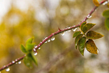 Detail of Drops of rainwater, hanging from branch of wild rose with leaves, among colors of autumnal vegetation