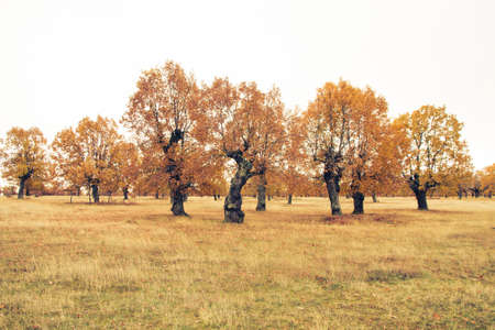 Autumnal oak trees near the winter in landscape with white cloudy sky. Photographic treatment of color