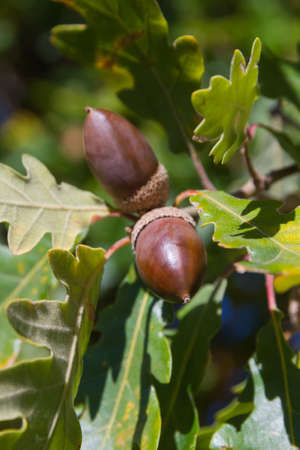 Acorns mature between leaves and branches of oak. In autumn