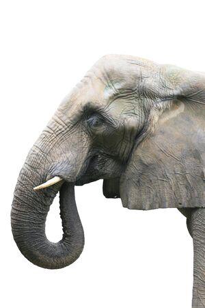 head of elephant on white background