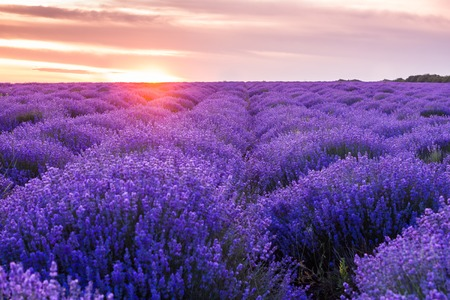 panorama field lavender summer. shallow depth of field Imagens