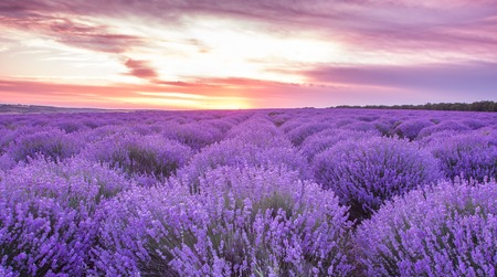 panorama field lavender summer. shallow depth of field