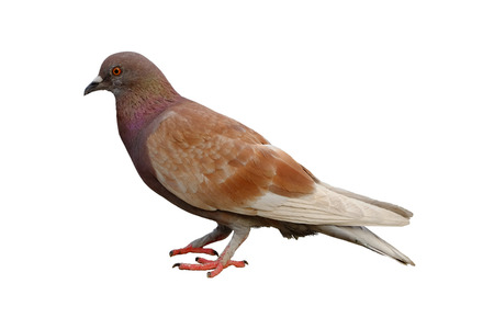 Full body of brown pigeon isolated on white background
