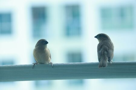 two sparrow sitting in opposite side at a clothes line of condominium terrace 스톡 콘텐츠