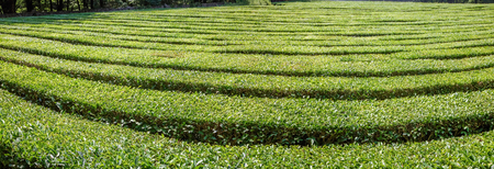 Panorama of tea plantation. Outskirts of Sochi, Russia. The photo shows a tea plantation in Dagomys (the vicinity of Sochi). Krasnodar tea is a drink that has gained wide popularity and popularity throughout Russia. Stockfoto