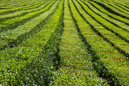 The relief landscape of the tea plantation. Near Sochi, Russia. Stock Photo