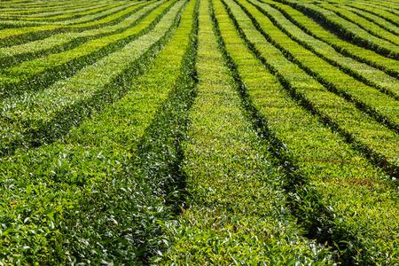 The relief landscape of the tea plantation. Near Sochi, Russia. Reklamní fotografie