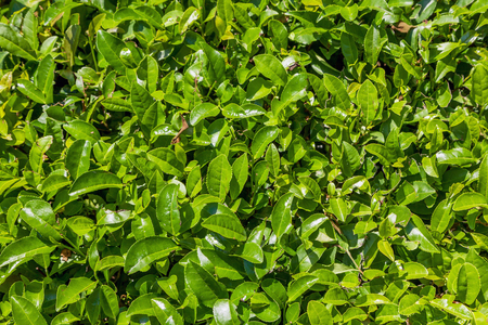 Leaves of tea on the plantation. Near Sochi, Russia.