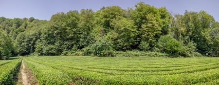 Panorama of tea plantation. Outskirts of Sochi, Russia.