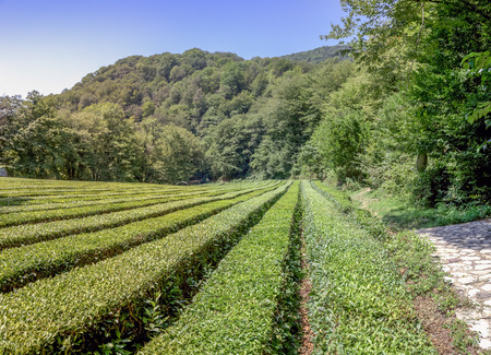 Tea plantation in the background of mountains. Near Sochi, Russia.