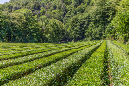 Straight rows of tea plantation. Neighborhood of Sochi, Russia.