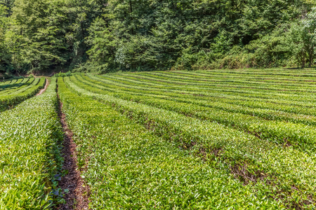 Tea plantation in the background of trees. Near Sochi, Russia. Standard-Bild