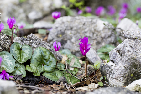 Cyclamen flowers on the Adriatic coast photo