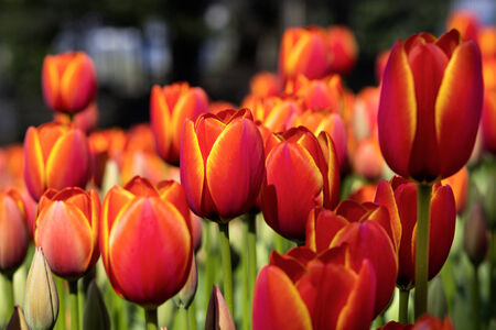 Tulips in the Istanbul garden photo