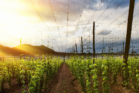 beauty farm: Hops Field - Cloudy Sky. Rays of light