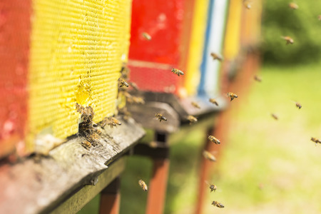 sipping: The bee was sipping the nectar and returning to beehive. Bees collects honey. Beehives on the meadow.