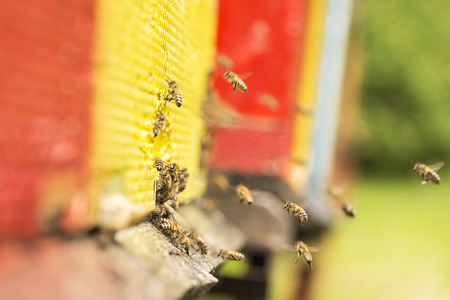 bee pollen: The bee was sipping the nectar and returning to beehive. Bees collects honey. Beehives on the meadow.