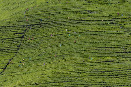 agriculture sri lanka: Traditional tea harvesting on the slopes of Sri Lanka. Stock Photo
