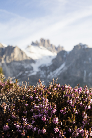 to thrive: Plants that thrive in high altitudes. Heather thrives in snow, high mountains in the background. Stock Photo