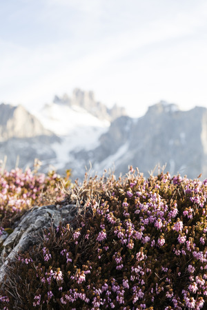 booked: Plants that thrive in high altitudes. Heather thrives in snow, high mountains in the background. Stock Photo