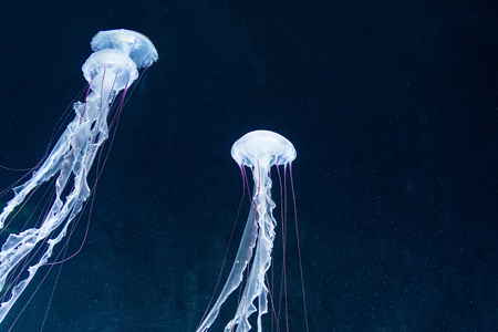 海の深さからカラフルなクラゲ。ゼリーが美しい彼らは非常に危険です。暗い奈落の底から海の生き物。 写真素材