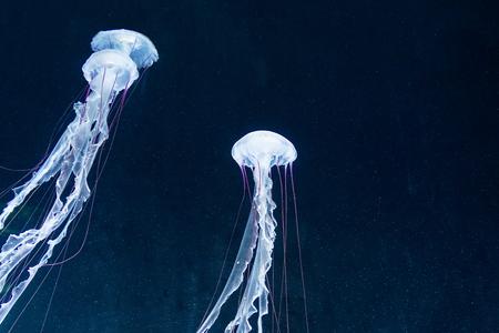 바다의 깊이에서 다채로운 해파리입니다. 젤리는 아름 다울지라도 매우 위험합니다. 어두운 심연에서 바다 생물입니다.
