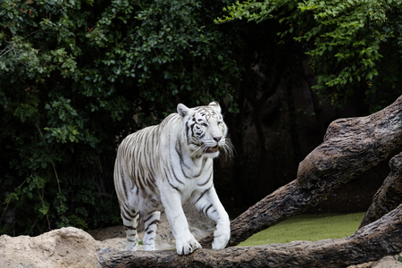 Protected white tiger in the wilderness. Now very rare outside of zoos, the endangered big cat is hunted for its highly prized fur.