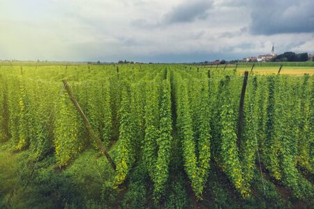 Organic hops plantation ready to harvest. Traditional beer production. Traditional eco beer brewery. Imagens